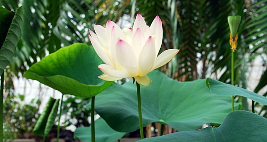 Lotus from the Victoria house. Photo: Ann-Sofie Börjesson