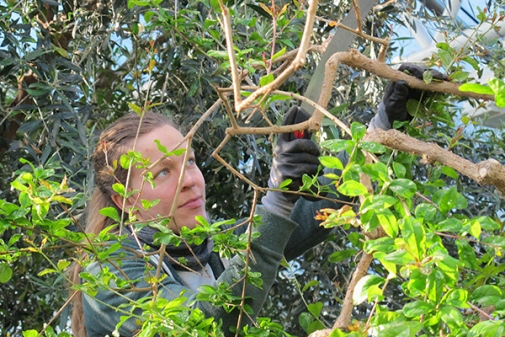 Anna is pruning the pomegranate tree.