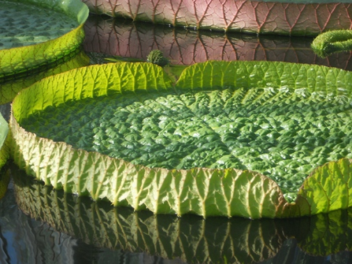 Giant water lily leaf before reaching full size. Photo: Gunvor Larsson