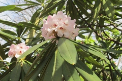 Paraplyrododendron, Rhododendron calophytum
