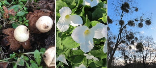 Geastrum michelianum, Trillium grandiflorum and Viscum album.