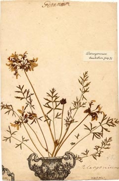 Picture of a herbarium sheet from Linnaeus